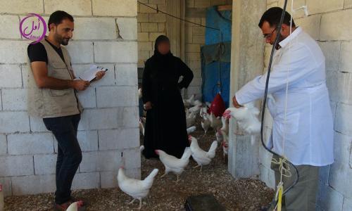 مشروع الدجاج البياض (2)